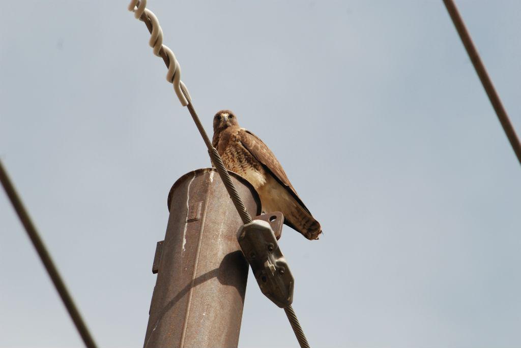 Hawk of some sort.