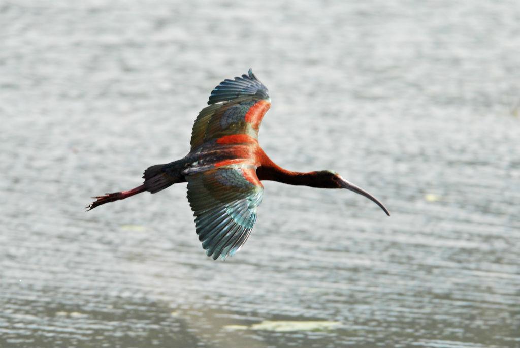 White faced ibis2