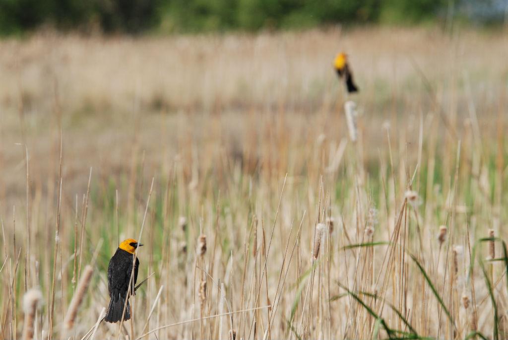 Yellowheaded blackbird2