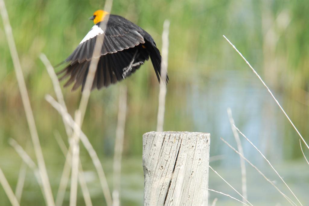 Yellowheaded blackbird3